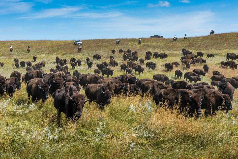 54th Annual Governor's Buffalo Roundup and Arts Festival in Custer State Park